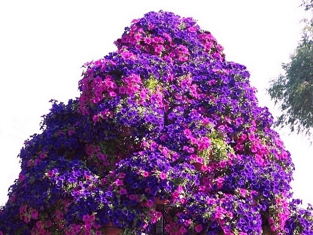 Petunia tree resized