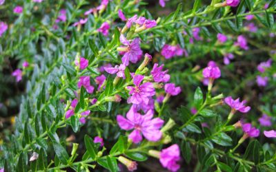 Purple Mexican Heather